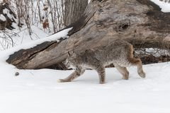 Canadian Lynx Lynx canadensis Stalks Left. Captive animal Royalty Free Stock Image