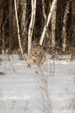 Canadian Lynx Lynx canadensis Stalks Out of Treeline Stock Photos