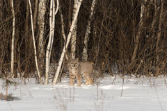 Canadian Lynx Lynx canadensis Stands Near Treeline. Captive animal Royalty Free Stock Photos