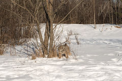 Canadian Lynx Lynx canadensis Stands Near Trees. Captive animal Royalty Free Stock Image