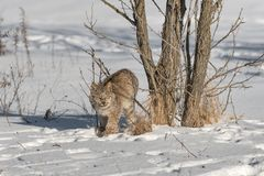 Canadian Lynx Lynx canadensis Stands Next to Trees. Captive animal Stock Photos