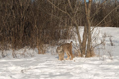 Canadian Lynx Lynx canadensis Stands Tall Next to Tree Stock Photos
