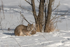 Canadian Lynx Lynx canadensis Stares by Tree. Captive animal Royalty Free Stock Photo