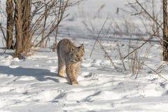 Canadian Lynx Lynx canadensis Steps Forward. Captive animal Stock Photos