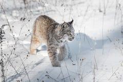 Canadian Lynx Lynx canadensis Walks Across Snow. Captive animal Royalty Free Stock Photography