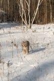 Canadian Lynx Lynx canadensis Walks Forward Through Snow Stock Photo