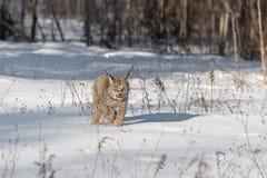 Canadian Lynx Lynx canadensis Walks Forward Through Snow Royalty Free Stock Images