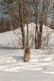 Canadian Lynx Lynx canadensis Walks Forward From Tree. Captive animal Royalty Free Stock Images