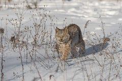 Canadian Lynx Lynx canadensis Walks Forward Through Weeds. Captive animal Royalty Free Stock Photo