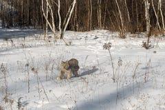 Canadian Lynx Lynx canadensis Walks Left Through Snow. Captive animal Stock Images