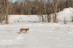 Canadian Lynx Lynx canadensis Walks Right Across Snow Royalty Free Stock Photography