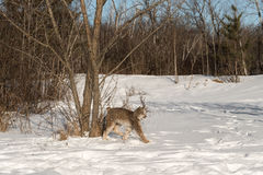 Canadian Lynx Lynx canadensis Walks Right Long Legged. Captive animal Stock Images