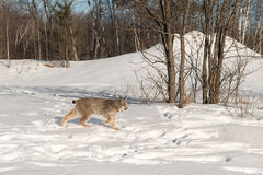 Canadian Lynx Lynx canadensis Walks Right Near Trees. Captive animal Royalty Free Stock Photography