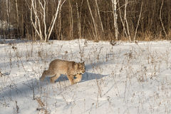 Canadian Lynx Lynx canadensis Walks Right Through Snow Royalty Free Stock Photography