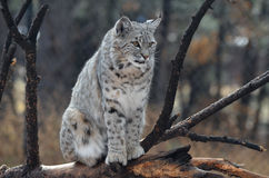 Canadian Lynx Sitting on a Fallen Tree Royalty Free Stock Image