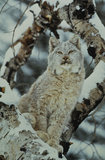 Canadian Lynx in Snowstorm. Snow covered lynx sits in a tree through a snowstorm Royalty Free Stock Image