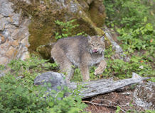 Canadian Lynx striking a pose in front of large rock. Canadian Lynx posing in front of rock with tongue out Stock Photos