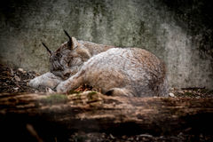 Canadian Lynx taking a nap Stock Photo