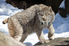 Canadian Lynx. A Canadian lynx wanders on the rocks on a bright winters day at the Queens Zoo NY Stock Photo