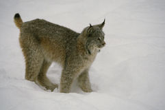 Canadian Lynx in Winter stock image