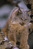 Canadian Lynx in Winter. A canadian lynx on a log during a snowstorm Stock Photos