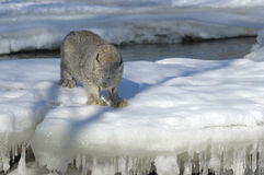 Canadian Lynx in winter. Canadian lynx preparing to spring. Northern Minnesota Royalty Free Stock Image