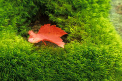 Canadian Maple Leaf on Moss. The symbol of Canada, a red maple leaf, sits on soft bright green moss - The perfect symbol of Canada's natural beauty and contrasts stock photo