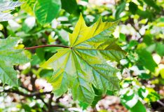 Canadian Maple Leaf in the Sunlight royalty free stock photography