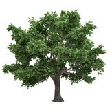 Canadian Maple Tree Isolated Royalty Free Stock Photo
