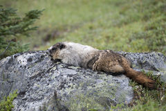 Canadian Marmot Portrait Royalty Free Stock Photography