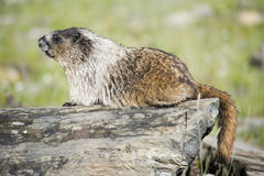 Canadian Marmot Portrait Royalty Free Stock Photos
