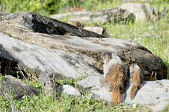Canadian Marmot Portrait Royalty Free Stock Images