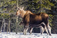 Canadian Moose Animal in Rocky Mountains. Canadian Mama Moose and her calf after early autumn snowfall in Kananaskis Country near Banff National Park in Rocky stock photography