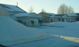 Canadian moose in front yard Royalty Free Stock Photos