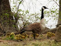 Canadian mother goose with little ducks Royalty Free Stock Image