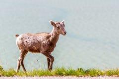 Canadian Mountain Goat Royalty Free Stock Photo