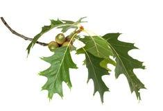 Canadian oak branch Royalty Free Stock Image