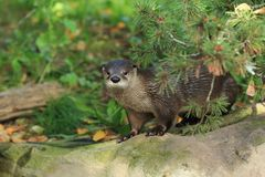 Canadian otter. Under the bush Stock Photography