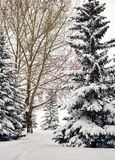 Canadian park path on a snowy morning. Snowy park path on a Canadian snowy morning in High River Alberta Canada Royalty Free Stock Images