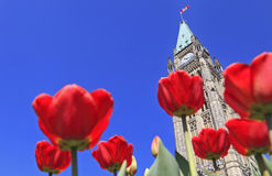 Canadian Parliament surrounded by red tulips stock photos