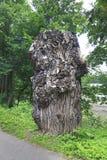 Canadian poplar (Populus) trunk in the garden Konopiste Stock Photo
