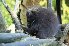 Canadian porcupine. Sitting on the wood Stock Image