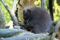 Canadian porcupine Stock Image