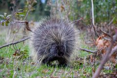 Canadian Porcupine, North Yukon, Canada stock photos