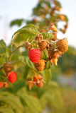 Canadian Raspberries on the Vine Royalty Free Stock Images
