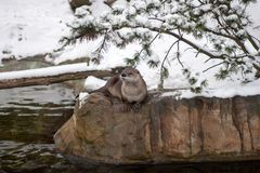 Canadian River Otter (Lutra canadensis) Stock Photography