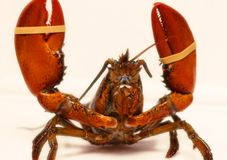 Canadian rock lobster royalty free stock photo