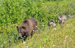 Canadian Rockies mama bear and two cubs. Canadian Rockies mama brown bear and two cubs walking along trail royalty free stock photography