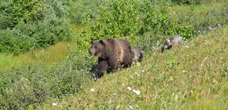 Canadian Rockies mama bear and two cubs. Canadian Rockies mama brown bear and two cubs walking along trail royalty free stock photo