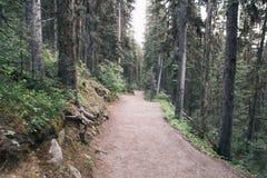 Canadian Rockies Pine Forest near Lake Louise. Canadian Rockies Pine Forest Lake Agnes Trail near Lake Louise Stock Image